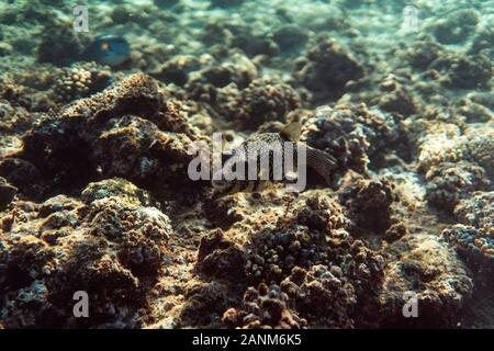 arothron stellatus underwater in the ocean of egypt, underwater in the ocean of egypt, arothron stellatus underwater photograph underwater photograph, - Stock Photo
