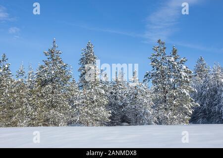 Snow covered pine trees under a blue sky near Twin Lakes, Idaho.