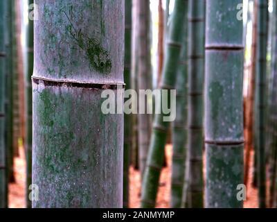 close up of a bamboo plant at arashiyama bamboo forest in kyoto