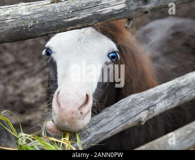 Cute little foal pony with blue eyes eating a grass - Stock Photo