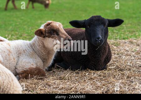Portrait of cute white lamb and black lamb sitting on straw on green meadow in Germany. Concept of animal friendship, free-range husbandry, sheep farm - Stock Photo