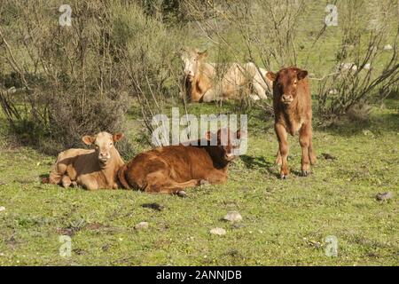 Bull cows and calves have a placid existence in the meadows of Andalucia among holm oak trees and cork oaks natural daylight - Stock Photo