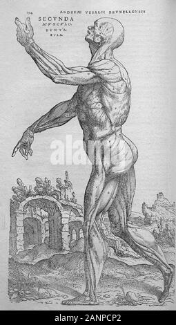 Illustrations from De humani corporis fabrica libri septem 'On the fabric of the human body in seven books' by Andreas Vesalius. Books on human anatomy published in 1543. - Stock Photo