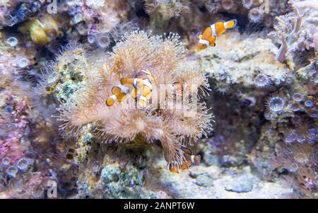 Closeup of Ocellaris clownfishes, aslo known as common clownfishes, as seen in aquarium environment