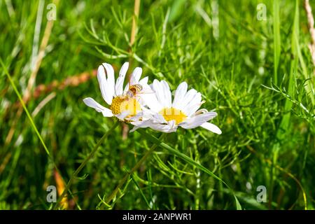 Bee collects pollen from  echinacea coneflower flower. Echinacea purpurea, PowWow White, Yellow cone head and white petals. Garden in Ireland
