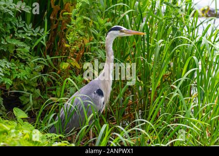 Grey heron, Ardea cinerea, at Grand Canal, Dublin, Ireland. Wading bird from Ardeidae family on canal bank, with wild green vegetation and copy space - Stock Photo