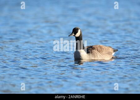 A Canada Goose Branta canadensis swimming on a Blue Lake in Winter - Stock Photo