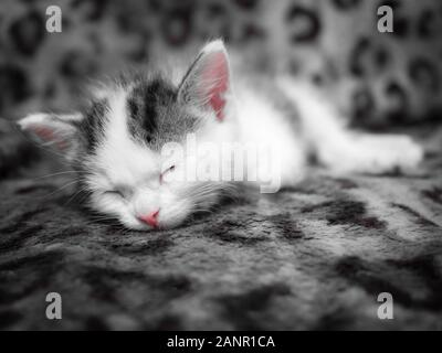 A cute little kitten sleeps in a new house on a spotted leopard color plaid. Cute sleeping kitty - Stock Photo