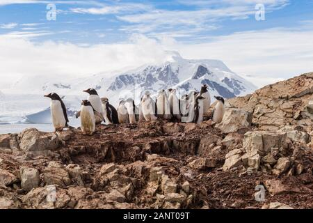 Group of chick penguins on the stone nest on the Antarctica background. Gentoo baby, Argentine Islands antarctic region - Stock Photo