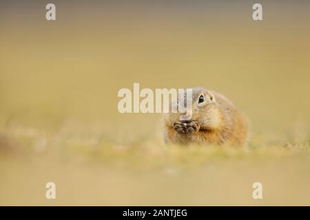 European Ground Squirrel, Spermophilus citellus, eating in the meadow during summer, detail animal portrait, Czech Republic. - Stock Photo