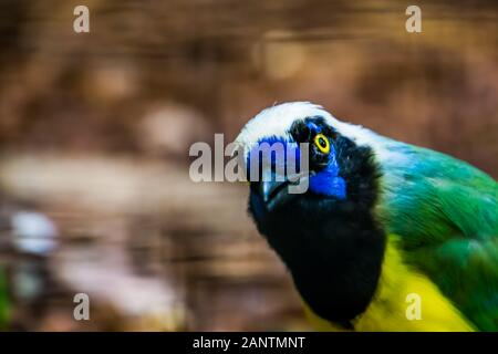 funny inca jay face in closeup, tropical bird specie from america - Stock Photo