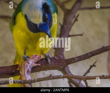 inca jay with its prey in a tree in closeup, Colorful and tropical bird specie from America - Stock Photo