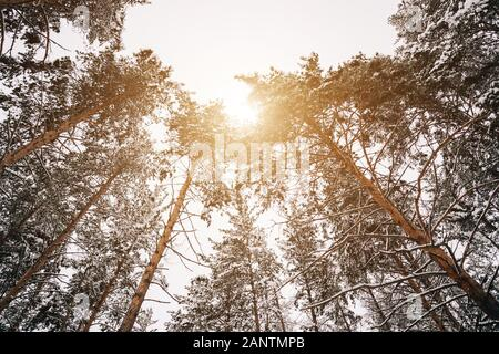 Beautiful tall pines against the winter sky the sun is shining brightly - Stock Photo