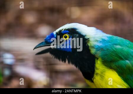 the face of a inca jay in closeup, colorful tropical bird specie from America - Stock Photo