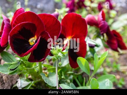 Red pansies in the garden - Stock Photo