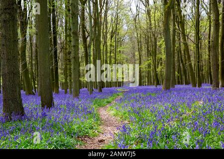 Beech tree woods filled with bluebell flowers in the Spring. Ashridge Forest, the Chiltern hills, near Ringshall, England, United Kingdom. - Stock Photo