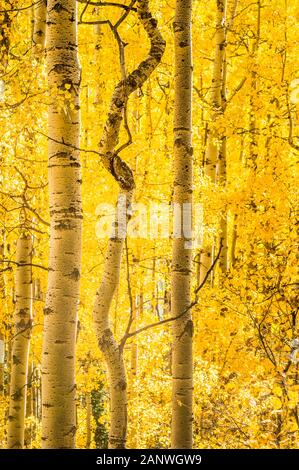 A curved tree between two straight aspens speaks to taking your own path in Uncompaghre National Forest, Colorado. - Stock Photo