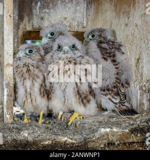 Turmfalke (Falco tinnunculus) Junge im Nistkasten - Stock Photo