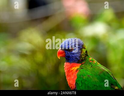 The rainbow lorikeet is a species of parrot found in Australia. It is common along the eastern seaboard, from northern Queensland to South Australia