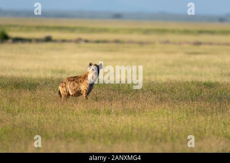 Spotted Hyena in a beautiful evening light seen at  Amboseli National Park, Kenya, Africa - Stock Photo