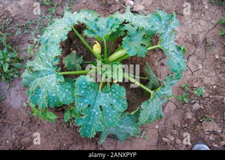 White Gum pumpkin seedling. organic vegetable growing. vegetable field - Stock Photo