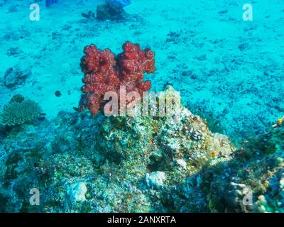 close view of a red soft coral on rainbow reef in fiji - Stock Photo