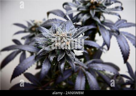 Medical marijuana bud one week before harvest time. - Stock Photo