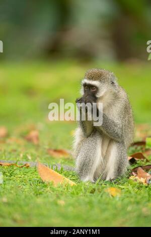 Vervet Monkey eating food from forest floor near lake Naivasha, Kenya, Africa - Stock Photo