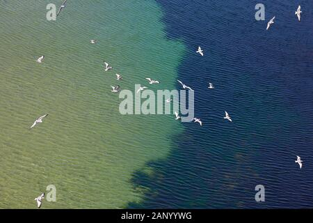 Kittiwakes flying over a differing colourful sea by Carrick-a-Rede island where they nest. Co Antrim Northern Ireland - Stock Photo