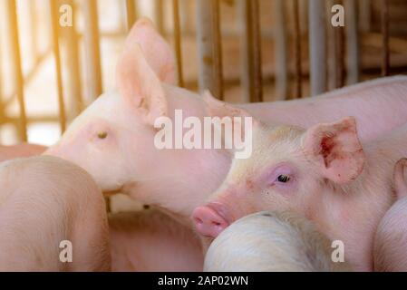 Little pig in farm. Small pink piglet. African swine fever and swine flu concept. Livestock farming. Pork meat industry. Healthy and cute pig in stall - Stock Photo
