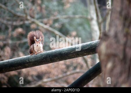 Red Squirrel about to get up on a tree. Wild Red squirrels are scientifically known as Sciurus vulgaris, a rodent typical from Spain in Murcia, Spain, - Stock Photo
