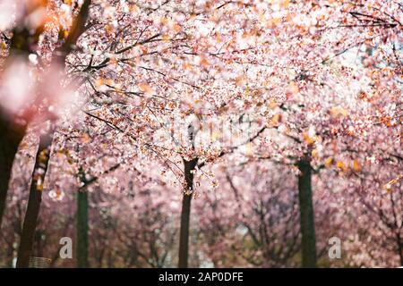 Beautiful city park with cherry trees in bloom. Branches with pink flowers in sunny day. Helsinki, Finland Stock Photo