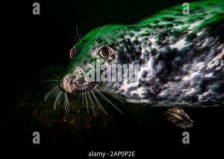 Grey seal swimming underwater at Bonaventure Island in Canada - Stock Photo