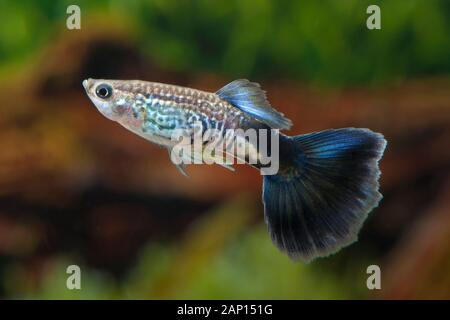 Guppy, Millionfish (Poecilia reticulata Blue Cobra). Male in an aquarium - Stock Photo