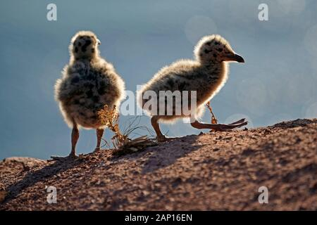 Herring Gull (Larus argentatus). Two chicks on a cliff. Helgoland, Germany - Stock Photo