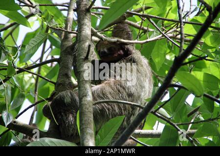 Sloth in the tree in Costa Rica - Stock Photo