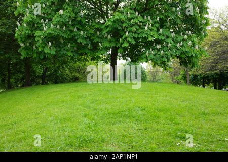 At the top of a grassy mound in Vauxhall Gardens, a London park, is a Horse chestnut tree with its white flower spikes standing up like candlesticks. - Stock Photo