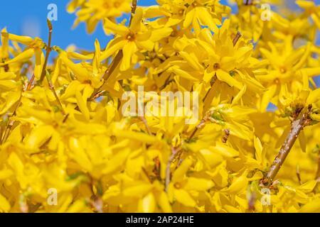 Flowering forsythia in spring - Stock Photo