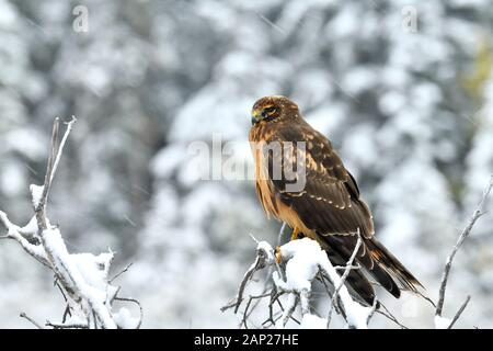 A northern harrier hawk 'Circus cyaneus', perched on a snow covered branch in rural Alberta Canada. - Stock Photo