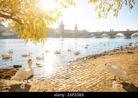 View on Charles bridge and Swans on Vltava river in Prague at dawn, Czech Republic - Stock Photo