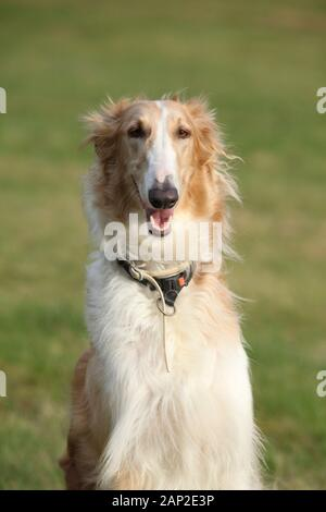 Portrait of gorgeous smiling barzoi in autumn - Stock Photo