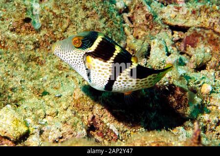Black-Saddled Toby, 'Canthigaster valentini' Sunbake Seawall, Chatai, Okinawa, Ryukyu Islands,Japan