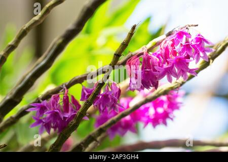 Dendrobium goldschmidtianum orchid. Stock Photo