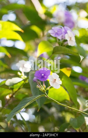 Brunfelsia grandiflora 'Yesterday Today and Tomorrow' flowers. - Stock Photo