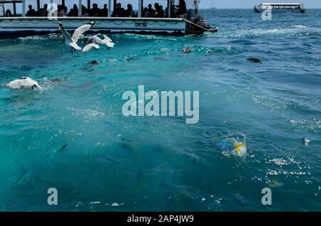 Feeding Yellowtail Fusilier fish jumping out of water including Batfish & seagulls on the surface with glass bottomed boats looking on in background - Stock Photo