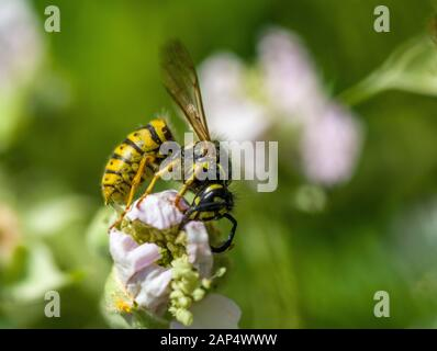 The Common Wasp, Vespula vulgaris, on a pink flower in the height of summer. It's distinctive yellow and black serves as a warning! - Stock Photo