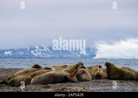 Group of Walruses (Odobenus rosmarus) adults hauled out to rest on dry land on Arctic coast in summer. Spitsbergen island Svalbard archipelago Norway - Stock Photo