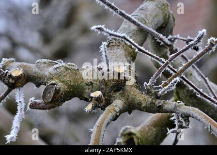 frost on a pruned fresh pruned apple tree in january image - Stock Photo