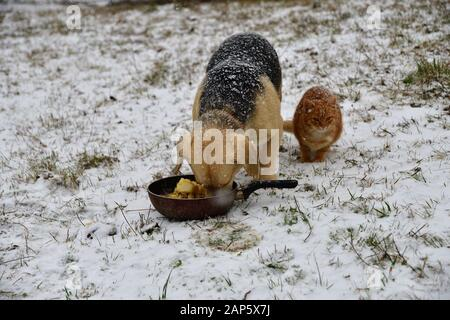Domestic dog with cat eating together on snow in winter