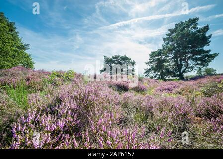Moor landscape in The Netherlands with purple colored flowering heather and scenic trees Stock Photo